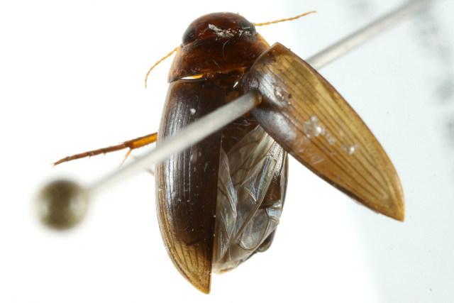 Image of Chevrolat's Dytiscid