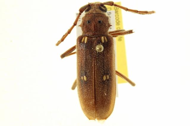 Image of Ivory-marked Beetle