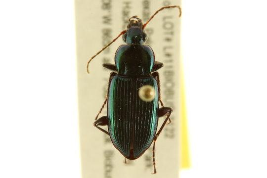 Image of <i><i>Poecilus</i></i> (Poecilus) <i>scitulus</i> Le Conte 1846