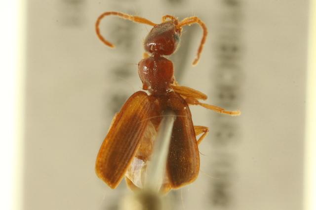 Image of <i>Zuphium americanum</i> Dejean 1831