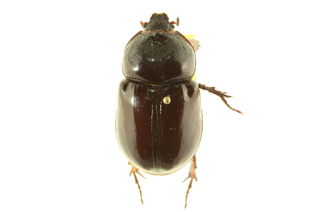 Image of <i>Strategus splendens</i> (Palisot de Beauvois 1809)