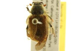 Image of bumblebee scarab beetles