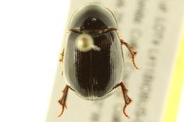 Image of <i>Hybosorus illigeri</i> Reiche 1853