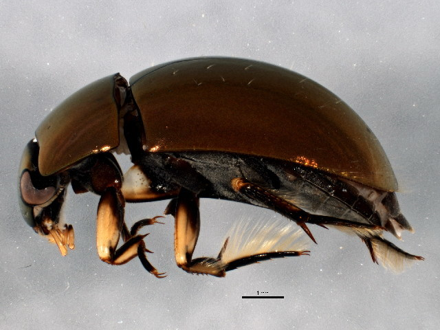 Image of water scavenger beetle
