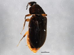 Image of Psephenus