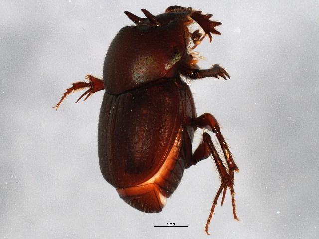 Image of Onthophagus