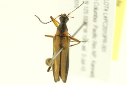 Image of <i>Cephaloon bicolor</i> Horn 1896