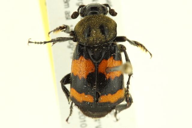 Image of Sexton Beetles