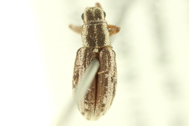 Image of Alfalfa Curculio