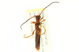 Image of <i>Necydalis <i>diversicollis</i></i> ssp. diversicollis
