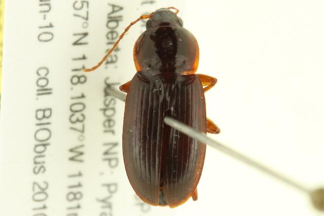 Image of <i>Calathus</i> (<i>Neocalathus</i>) <i>ingratus</i> Dejean 1828