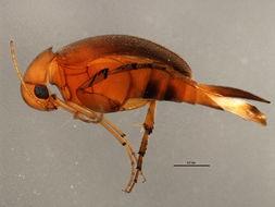Image of <i>Mordellina testacea</i> (Blatchley 1910)