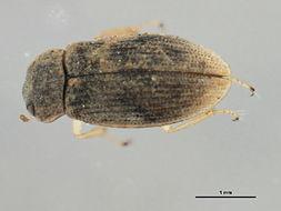 Image of <i>Helophorus</i> (<i>Rhopalohelophorus</i>) <i>linearis</i> Le Conte & J. L. 1855