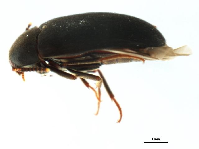 Image of <i>Synstrophus repandus</i> (Horn 1888)