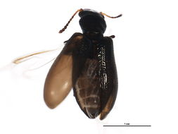 Image of <i>Sphaeriestes virescens</i> Le Conte 1850