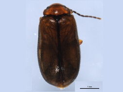 Image of <i>Cyphon brevicollis</i> LeConte 1866