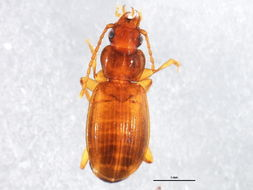 Image of <i><i>Trechus</i></i> (Trechus) <i>apicalis</i> Motschulsky 1845