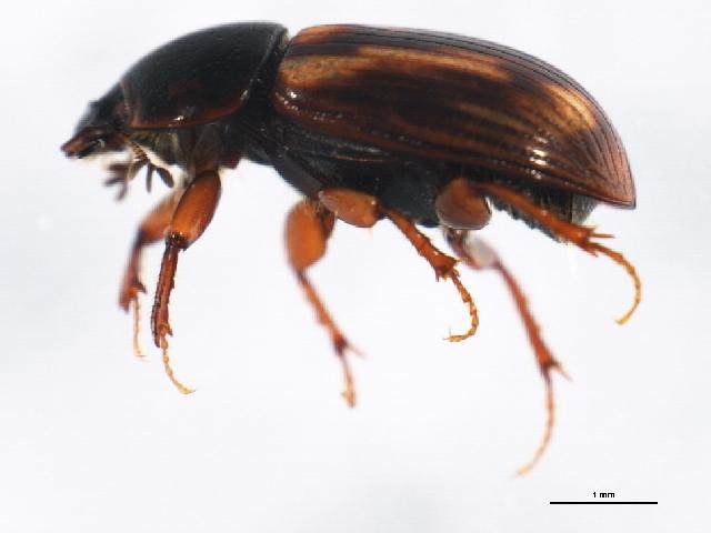 Image of <i>Agoliinus congregatus</i> (Mannerheim 1853)