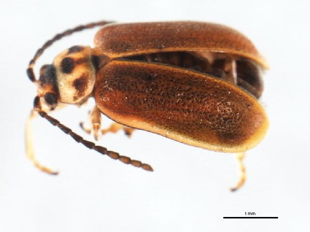 Image of <i>Tricholochmaea cavicollis</i> (J. L. Le Conte 1865)
