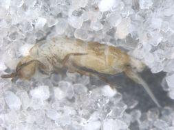 Image of <i>Tomocerus sibiricus</i> Reuter 1891