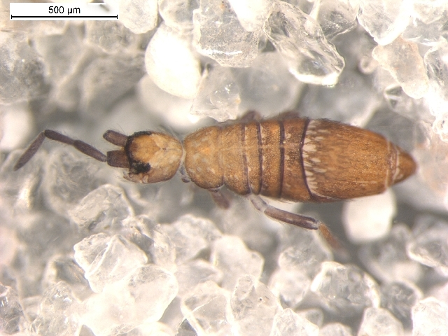 Image of Springtail