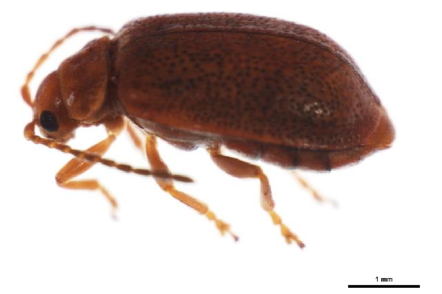 Image of Tricholochmaea