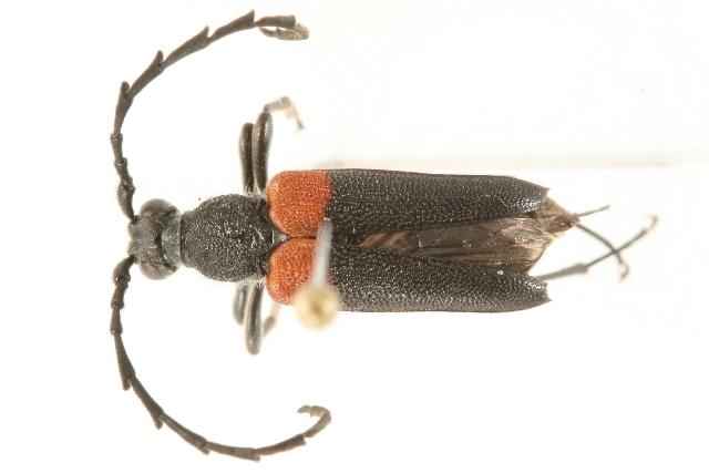 Image of Red-shouldered Pine Borer