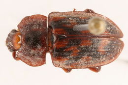 Image of <i>Phenolia grossa</i> (Fabricius 1801)