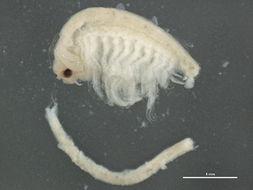 Image of Brine shrimp