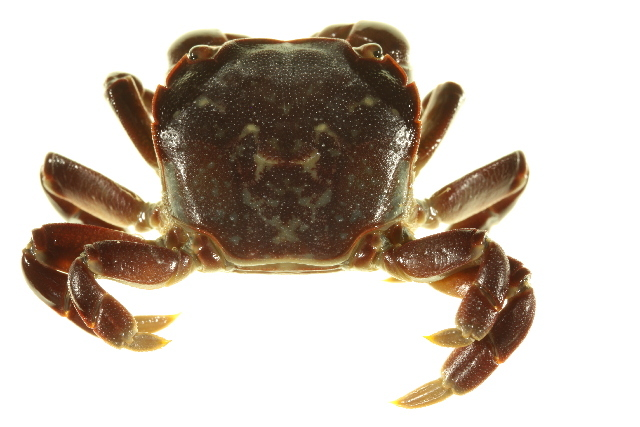 Image of Purple Shore Crab