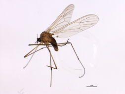 Image of Dixella