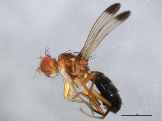 Image of Opomyzidae