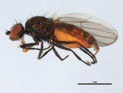 Image of <i>Neopelomyia rostrata</i> (Hendel 1911)