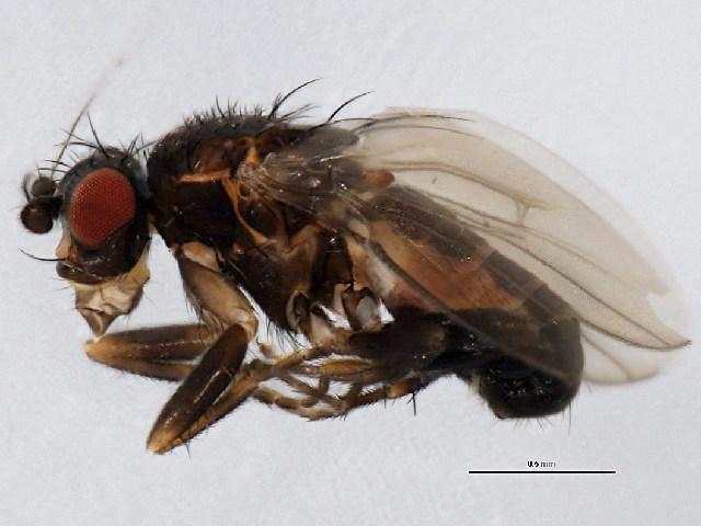 Image of Pullimosina
