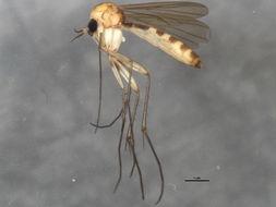 Image of <i>Exechia contaminata</i> Winnertz 1863