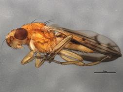 Image of Opomyza