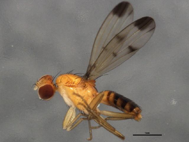 Image of <i>Geomyza balachowskyi</i> Mesnil 1934
