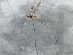 Image of <i><i>Symplecta</i></i> (Symplecta) <i>cana</i> (Walker 1848)
