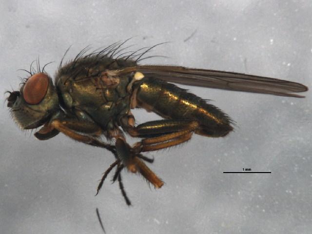 Image of <i>Ephydra riparia</i> Fallen 1813