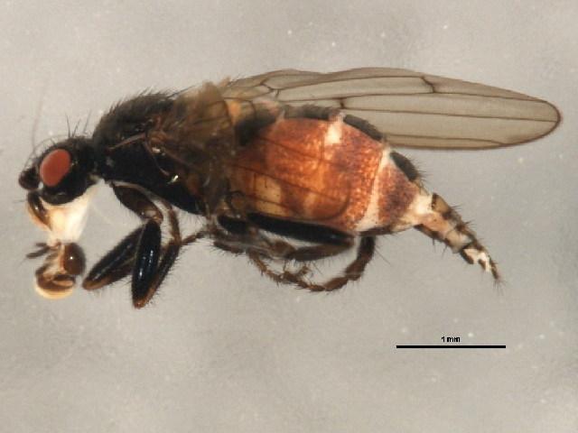 Image of <i>Crumomyia pilosa</i> Norrbom & Kim 1985