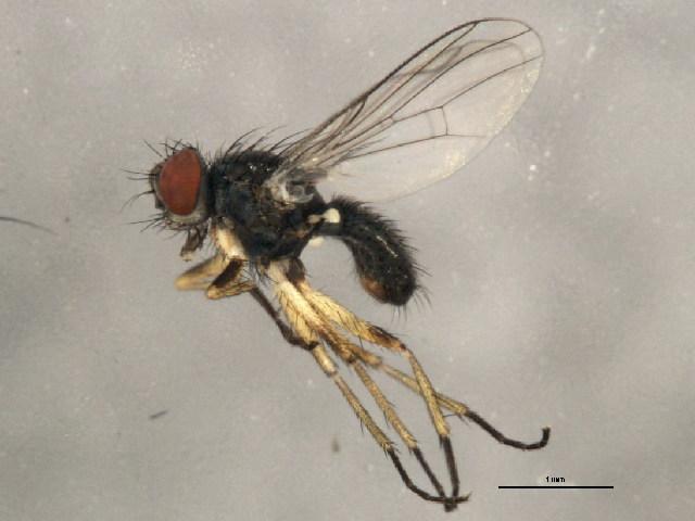 Image of <i>Coenosia impunctata</i> Malloch 1920