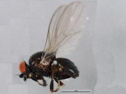 Image of Leucopis
