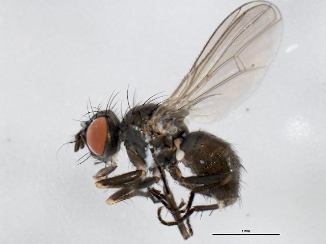 Image of <i>Coenosia</i>