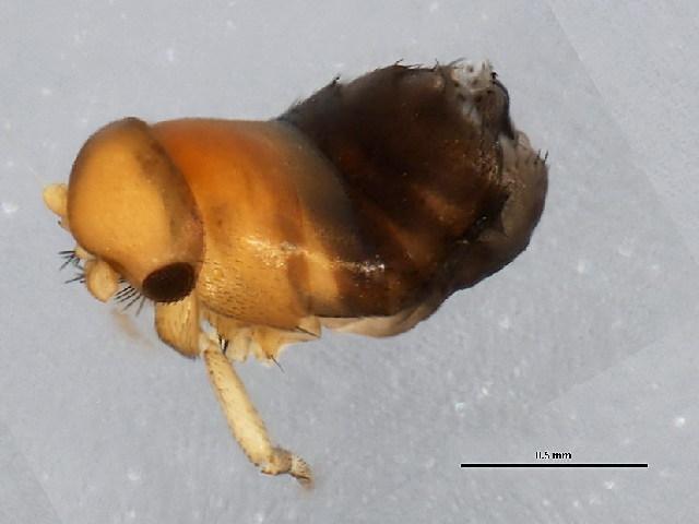 Image of Aenigmatias