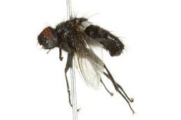 Image of <i>Brachicoma devia</i> (Fallen 1820)