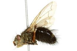 Image of <i>Epalpus signifer</i> (Walker 1849)