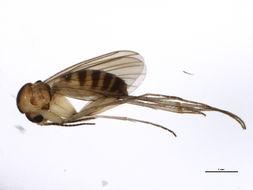 Image of <i>Trichonta atricauda</i> (Zetterstedt 1852)