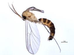 Image of Ditomyiidae