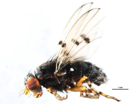 Image of <i>Odinia betulae</i> Sabrosky 1959