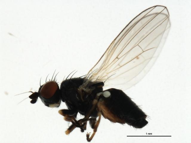 Image of <i>Chamaemyia geniculata</i> (Zetterstedt 1838)